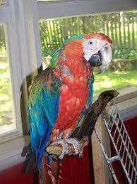 Catalina macaw - Wikipedia