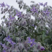 Image result for borage