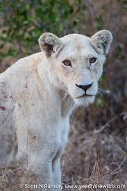 white lioness with blue eyes. Brilliant Lioness The White Lioness With Brown Eyes Not All Lions Have Blue Intended White Lioness With Blue Eyes H