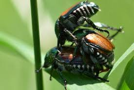 japanese beetles life cycle japanese beetle space for life