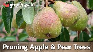 How To Prune Pear Trees  YouTubePruning Fruit Trees Video