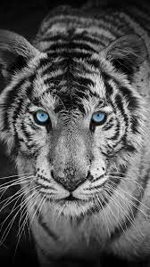Tiger Background Hd » Hupages ...