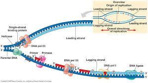 Dna Replication Morgan Huetters Bio 205 Study Guide