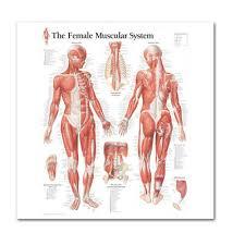 Human Body Muscle Anatomy System Female Anatomical Chart