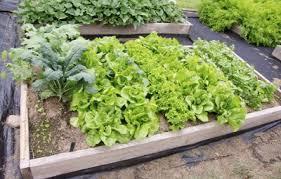 Kale Companion Planting Chart Kale Companion Planting What Are Good Companion Plants For