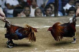 Image result for judi ayam