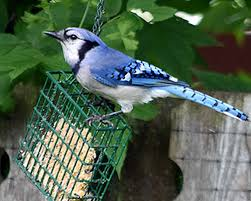 Image result for blue jay eating corn