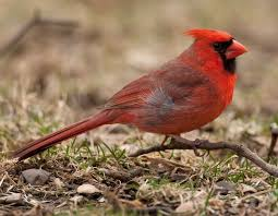 Image result for male cardinal