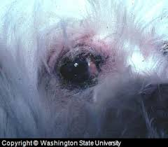Dog Eye Allergy Symtoms, Diagnosis, Treatment, and Tips