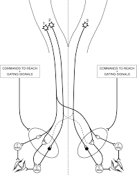 Articles journal of neurophysiology cat wiring diagram full size