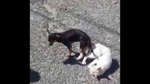 dogs and cats mating together.  Cats Cat And Dog Mating Stuck  YouTube Dog Cat For Dogs And Cats Mating Together W