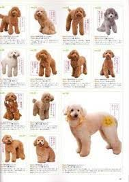 Standard Goldendoodle Size Chart Mini Goldendoodle Size Chart Goldenacresdogs Com