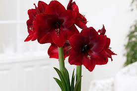bring color to someone s winter amaryllis bulbs make great gifts