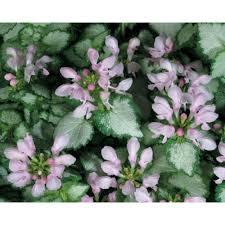 qt pink chablis dead nettle lamium live plant