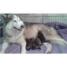 Twila: Wolf Hybrid puppy for sale near Inland Empire, California. |  050447a1-55e1