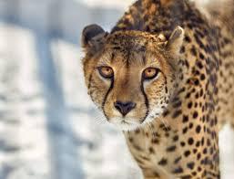 black cheetah wallpaper hd 1080p