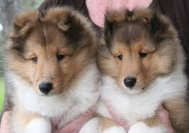 shetland sheepdog puppies