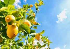 How Long Does A Lemon Tree Take To Produce Fruit Home