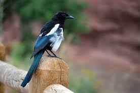 magpies are intellegent birds but are