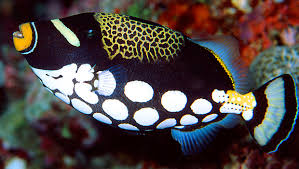 clown triggerfish. Brilliant Triggerfish Clown Triggerfish To N