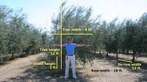 Prepare The Tree Canopy  Mechanical Harvesting Of California Fruit Tree Hedgerow