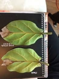 there are several things that could be causing the problem water a lyrata or fiddle leaf fig