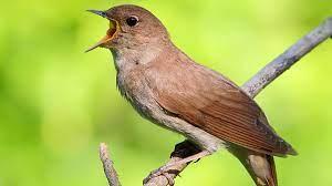 Singing nightingale. The best bird song. - YouTube