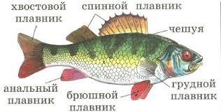 Рыбы строение питание движение органы чувств дыхание  Внешнее строение рыбы