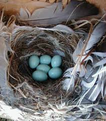 western bluebird nests eggs and young