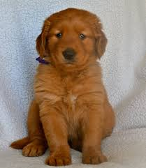 red golden retriever.  Red Picture On Red Golden Retriever