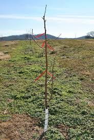Plant Prune Dormant Fruit Trees Now  La Mesa CourierDormant Fruit Trees