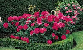 Preorder Roses Spring  FreshGardenLivingFragrant Rose Plants