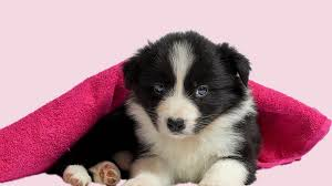 Border Collie Puppies All Facts On The Energetic Dog Petmoo