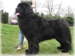 10 por big fluffy dog breeds me and my pet