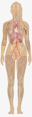 Diagrams Archives Human Anatomy Charts Anatomy Human Free