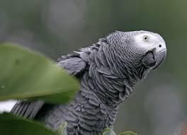African Grey Parrot African Grey Biting