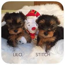 we have a new litter of yorkie due in december from bunny and batman get on the waiting list