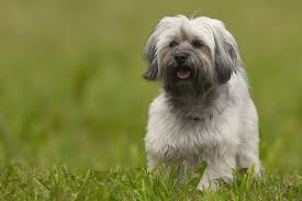 Havanese Growth Chart Havanese Full Profile History And Care