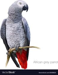 African grey parrot detailed painting Royalty Free Vector