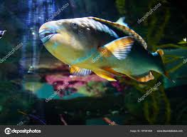 parrotfish rasping fused teeth newport oregon stock photo