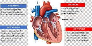 Anatomy Of The Heart Chart Heart Valve Diagram Anatomy Heart Chamber Png Clipart