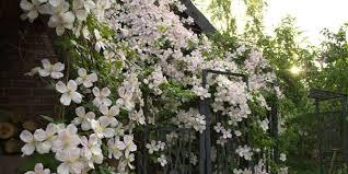 Best Climbing Plants  Burkeu0027s BackyardClimbing Plant