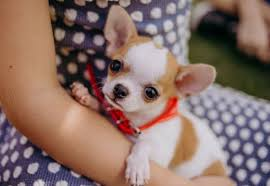 Teacup Chihuahua Size Chart Teacup Chihuahua Puppies Lifespan Price Pictures