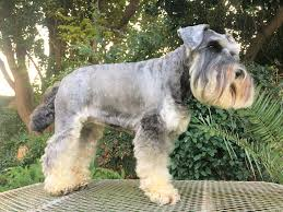 grooming schnauzer friends south africa