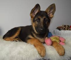 6 Tips For Grooming Your German Shepherd Dog American