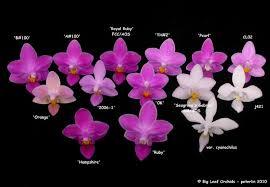Orchid Phalaenopsis Identification Chart Google Search