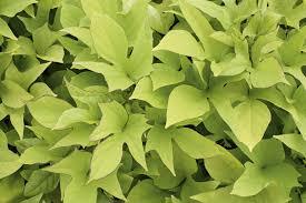 Light Green Sweet Potato Vine Proven Accents Sweet Caroline Light Green Sweet Potato