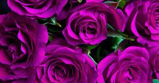 purple roses names varieties