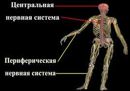 Лекция Возрастные особенности и гигиена нервной системы  Центральная и периферическая нервные системы Центральная нервная