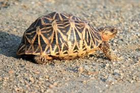 Indian Star Tortoise Diet Chart Indian Star Tortoise Facts Diet Habitat Pictures On